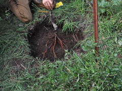 planting tree roots in hole