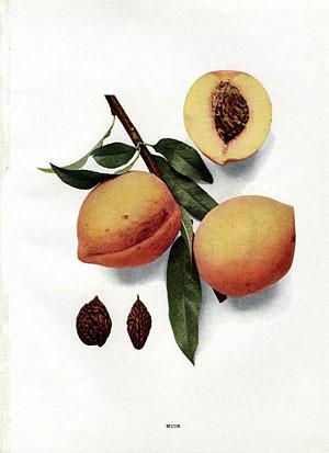 Muir peach, Hendrick